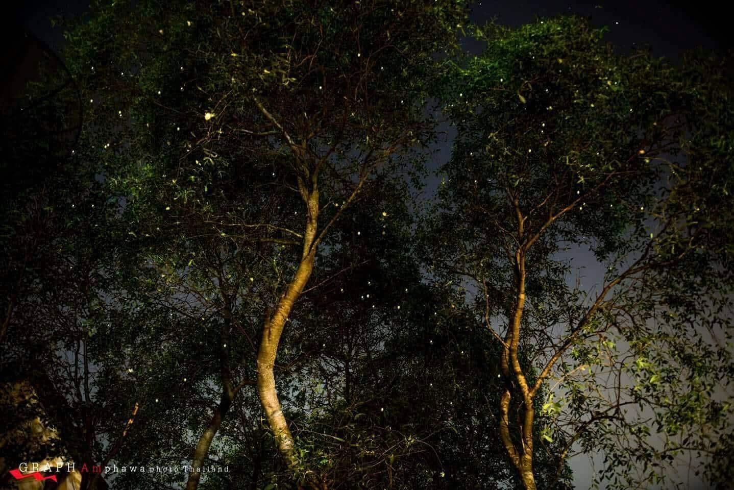 ที่พักอัมพวา ดูหิ่งห้อย บ้านสวนนวลตา พาชมหิ่งห้อยในที่พักแบบใกล้ชิด ปี2563 5 (9)